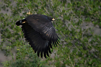 Common Black Hawk in flight, Big Bend National Park, Texas