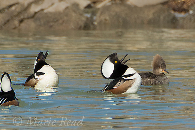 Hooded Merganser (Lophodytes cucullatus) males displaying to a female in spring, New York, USA