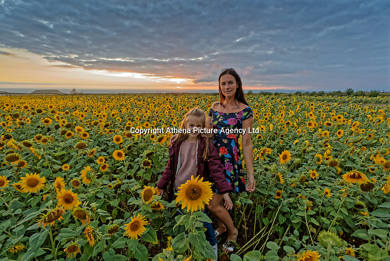 Natasha Jenkins with daughter Nieve enjoy a walk during sunset amongst a field of sunflowers that have grown recently due to the warm and sunny weather in Rhossili, in the Gower Peninsula, near Swansea, Wales, UK. Monday 13 August 2018