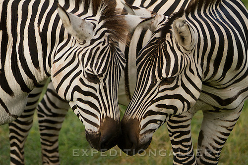 Two zebras with classic black and white stripes touching noses, Ngorongoro Crater, Tanzania.