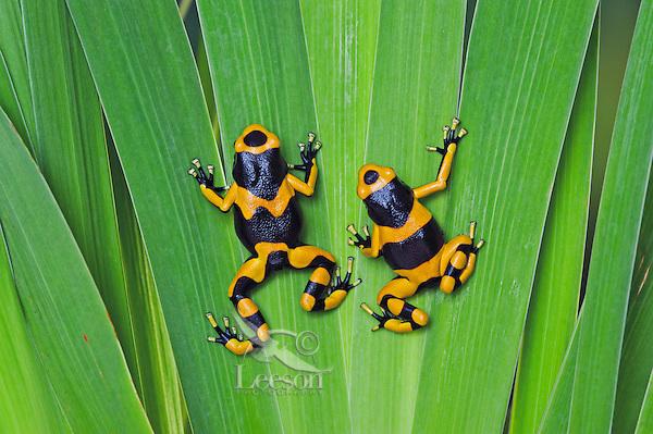 Bumblebee poison dart frog/Guyana Banded dart frog (Dendrobates leucomelas), native to Guyana. South America. Captive.