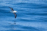 A black browed albatross near Cape Horn, Argentina