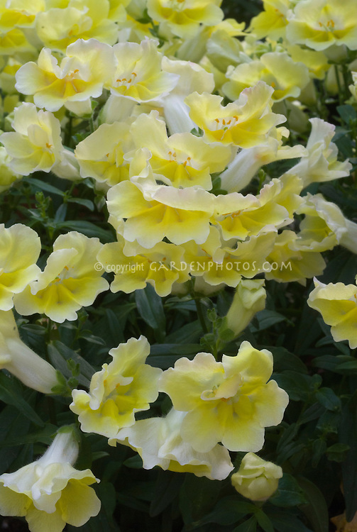 Antirrhinum 'Twinny Yellow Shades' snapdragons annual flowers