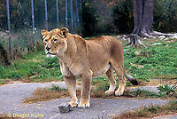 MA39-020z  African Lions - Panthera leo