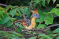 548500005 a wild hoatzin opisthocomus hoatzin peers out from a nest in a tall tree along a river in the llanos area of venezuela
