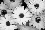 La Jolla, California; African Daisies, Osteospermum hybrid, white and pink