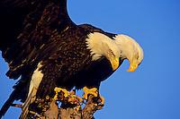 Bald eagles (Haliaeetus leucocephalus) squabbling over perch.