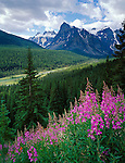 Banff National Park, Canada    <br /> Fireweed (Epilobium angustifolium) on a ridge above The Valley of Ten Peaks, Moraine Creek and Mount Babel with Wenkchemna Peaks