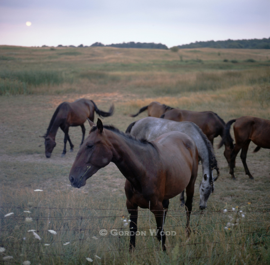 Horses in Open Field Just after Sunrise