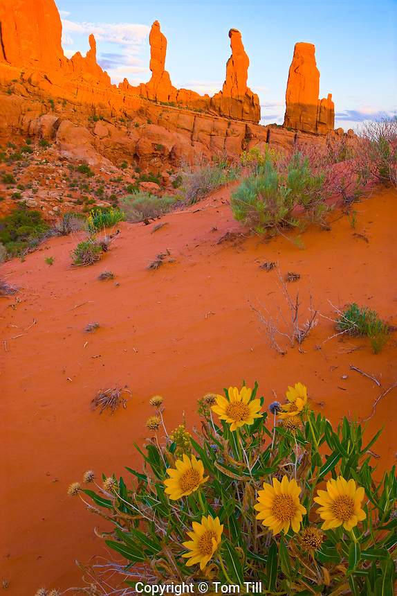 The Marching Men and mule ear flowers       Arches National Park, Utah                            Klondike Bluffs section      Wyethia Sp.