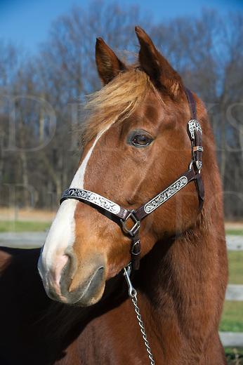 Horse head shot, a Tennessee Walker in winter coat with silver halter, taken in sunlight.