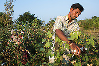 Fairtrade cotton farm labourer Parvat, 27, picks cotton in Narendra Patidar's farm in Karhi, Khargone, Madhya Pradesh, India on 12 November 2014. Parvat gets paid 5 rupees per kilogram and can pick up to 40kg per day. Photo by Suzanne Lee for Fairtrade