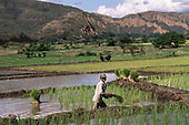 Altiplano, Peru. Smiling boy planting rice plants in a flooded field with a pair of agricultural oxen behind in an area of fields with orrigation banks in a valley.
