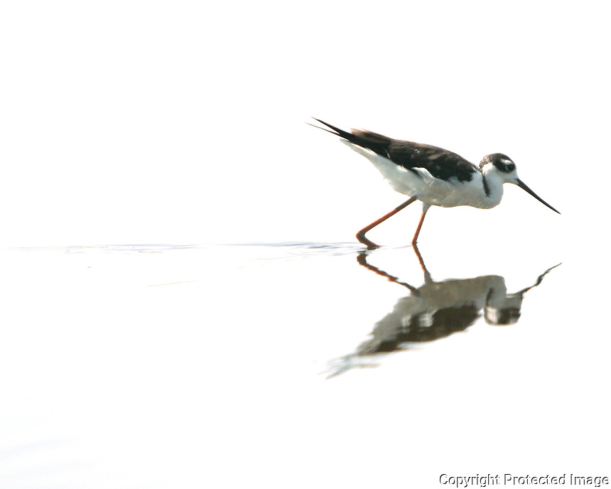 A bird and its reflection stroll through shallow water.