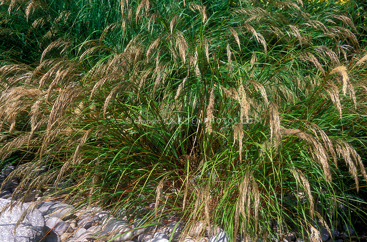 Stipa calamagrostis in bloom, ornamental grass, Spear Grass, perennial flowering grass