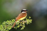 Great Kiskadee (Pitangus sulphuratus), adult calling, Dinero, Lake Corpus Christi, South Texas, USA