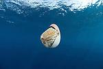 Chambered nautilus .Nautilus pompilius