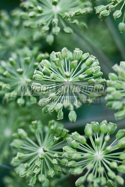 Europe/France/Poitou-Charentes/79/Deux-S&egrave;vres/Marais Poitevin/Prin Deyran&ccedil;on: Culture de l'Ang&egrave;lique &agrave; la Ferme du Gu&eacute; -  Fleur d'ang&eacute;lique<br /> L&rsquo;Ang&eacute;lique vraie, l&rsquo;Archang&eacute;lique ou l&rsquo;Ang&eacute;lique officinale, Angelica archangelica, est une plante de la famille des Apiac&eacute;es, cultiv&eacute;e comme plante condimentaire et m&eacute;dicinale pour ses p&eacute;tioles, tiges et graines tr&egrave;s aromatiques et stimulantes et pour sa racine utilis&eacute;e en phytoth&eacute;rapie.