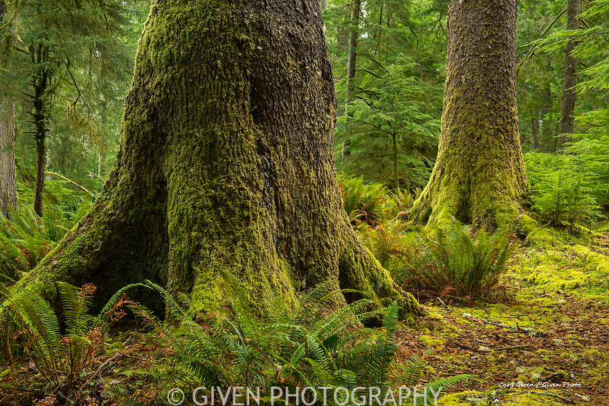 Old-growth Sitka Spruce Trees in Suislaw National Forest, Oregon
