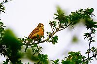 Ortolan, singendes Männchen, Gartenammer, Emberiza hortulana, ortolan bunting, male, Le Bruant ortolan