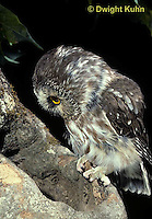 OW02-317z  Saw-whet owl - at nest cavity - Aegolius acadicus
