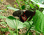 A Ruby-patched Swallowtail perched on a leaf in a garden in Costa Rica. The bright red patched on the wings and the red-spots on the body make this a very eyecatching butterfly.