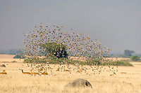 Uganda Kob and flock of birds, Queen Elizabeth National Park, Uganda, East Africa