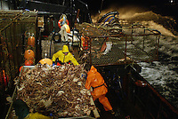 "10/20/03 crab NWS::  A pot of red king crab is dumped onto the sorting table of the F/V Exito where the crew will begin sorting out the legal sized males, 6.5 inches or larger. Thos crab are then tossed into one of 3 large tanks below deck filled with seawater and kept alive until the boat returns to Dutch Harbor, AK where they will be processed.  On a pot this size which had about 60 ""keepers"", the crew estimates that a fullcrewshare guy would make about $100 per pot or a $1,000 per hour (at the pace of 10 pots per hour).  The bonanza lasted about 2 hours before the pots started coming up less full. The smaller crab, which are juveniles and females, are tossed back into the sea, a regulation dictated by the Alaska Department of Fish & Game to preserve future stocks.  This year's ADFG forecast of 14.7 million pounds was the largest projected harvest of Bristol Bay red king crab in 12 years.  It will be several weeks before crabbers know if that harvest was met.  The season lasted 5 days and 2 hours and was plagued with gale force winds of 35 knots or higher almost everyday."