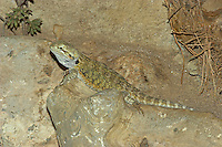 Streifenköpfige Bartagame, Streifenkopf-Bartagame, Farbbartagame, Bart-Agame, Agame, Agamen, Pogona vitticeps, Central Bearded Dragon, Inland Bearded Dragon