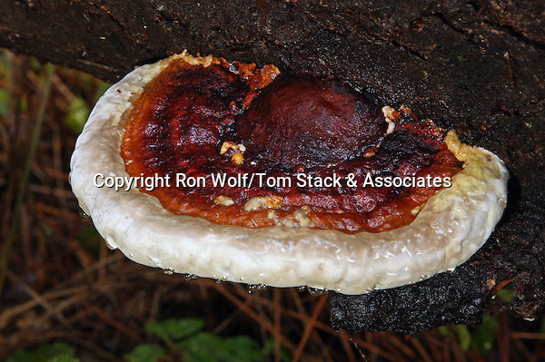 """Varnished Polypore (Ganoderma lucidum) a/k/a Varnished Conk. This species, found worldwide, is known in China as Ling Chih, the """"marvelous herb"""" or """"mushroom of immortality."""" Henry Cowell Redwoods State Park. Santa Cruz Co., Calif."""