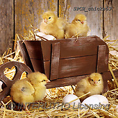 Xavier, EASTER, OSTERN, PASCUA, photos+++++,SPCHCHICKS53,#e#, EVERYDAY ,chicken