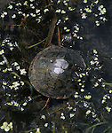 Turtle seen in the Esopus Bend Nature Preserve in Saugerties, NY, on Monday, July 11, 2016. Photo by Jim Peppler. Copyright Jim Peppler 2016. x