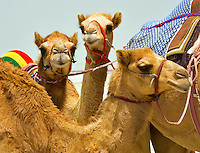 Young racing camels.  Camelus Dromadarius.  Dubai. United Arab Emirates.