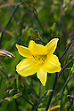 Daylily (Hemerocallis 'Corky'), end June.