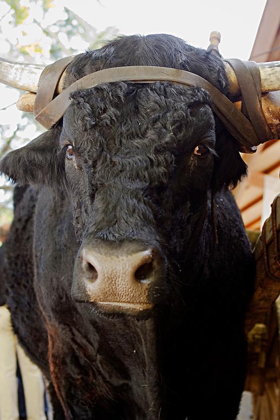 Le Festival de l'élevage et du veau de lait élevé sous la mère.<br /> Boeuf Salers noir, rare mais pas exceptionnels.