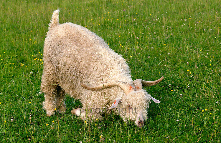 Angora goat on North Island  in New Zealand