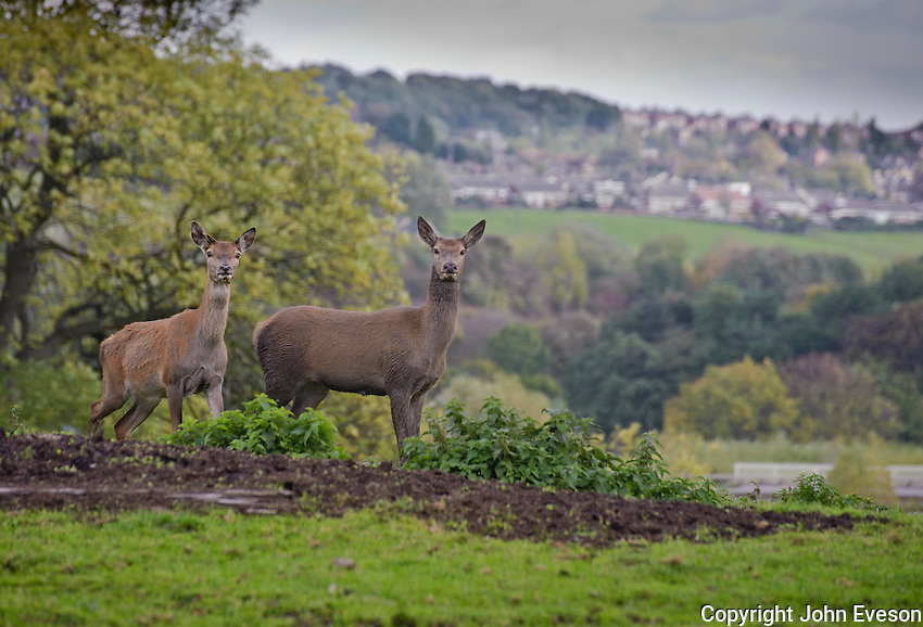 Red Deer hinds.Yorkshire.