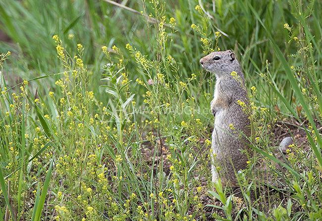 Uinta ground squirrels are common in Yellowstone's sage and grasslands.