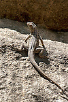 Dumeril's Madagascar Swift Iguana, Oplurus quadrimaculatus, Anja Park, Madagascar, endemic, Madagascar spotted spiny tailed iguana,  Least Concern on the IUCN Red List