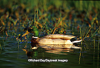 00729-01920 Mallard (Anas platyrhynchos) male in wetland Marion Co.  IL