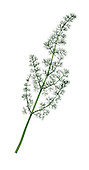 SPIGNEL Meum athamanticum (Apiaceae) Height to 60cm<br /> Aromatic, hairless, hollow-stemmed perennial of upland grassland. Fibrous remains of previous year&rsquo;s leaf stalks crown rootstock. FLOWERS are creamy white; in frothy-looking umbels, 3-6cm across (Jun-Jul). FRUITS are egg-shaped and ridged. LEAVES are 3- to 4-pinnate with bristle-like lobes. STATUS-Local, from N Wales to Scotland.