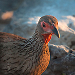 Swainson's spurfowl  closseup poprtrait  at sunset in Etosha National Park, Namibia.