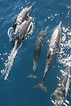 Common dolphin bow-riding in Pacific Ocean