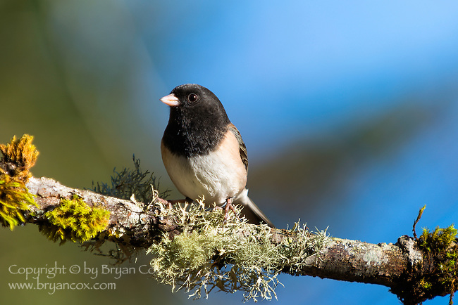 Dark-eyed junco, coast mountain range, Oregon