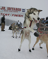 Saturday February 25, 2006 Willow, Alaska.   One of Micah Degerland's team dogs jumps to go at the start day of the Junior Iditarod sled dog race.  Willow Lake.