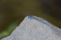 338290021 a wild male aztec dancer argia nahuana perches on a rock along the gila river in cartron county new mexico