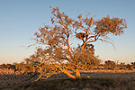 A wedge-tailed baby eagle (Aquila audax) high on its nest with a rabbit as its steady meal. This eagle sometimes known as the Eaglehawk is the largest bird of prey in Australia.