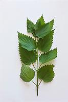 Europe/France/Ile-de-France/75012/Paris: Ortie - urtica dioica  - Plantes médicinales- Jardin de l'Ecole du Breuil dans le Bois de Vincennes