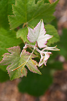 A vine shoot on a Pinot Meunier vine The leaves are white as if they were covered with flour which is the reason for the name at the experimental vineyard of the CIVC at Plumecoq near Chouilly in the Cote des Blancs It is used for testing clones soil treatment vine treatments spraying, Champagne, Marne, Ardennes, France