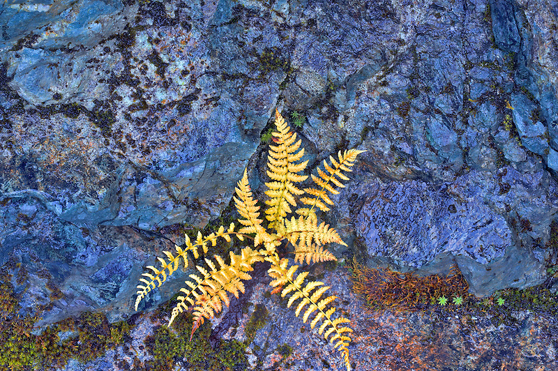 Fern in fall color growing in rock wall. Mt. Baker Wilderness. Washington